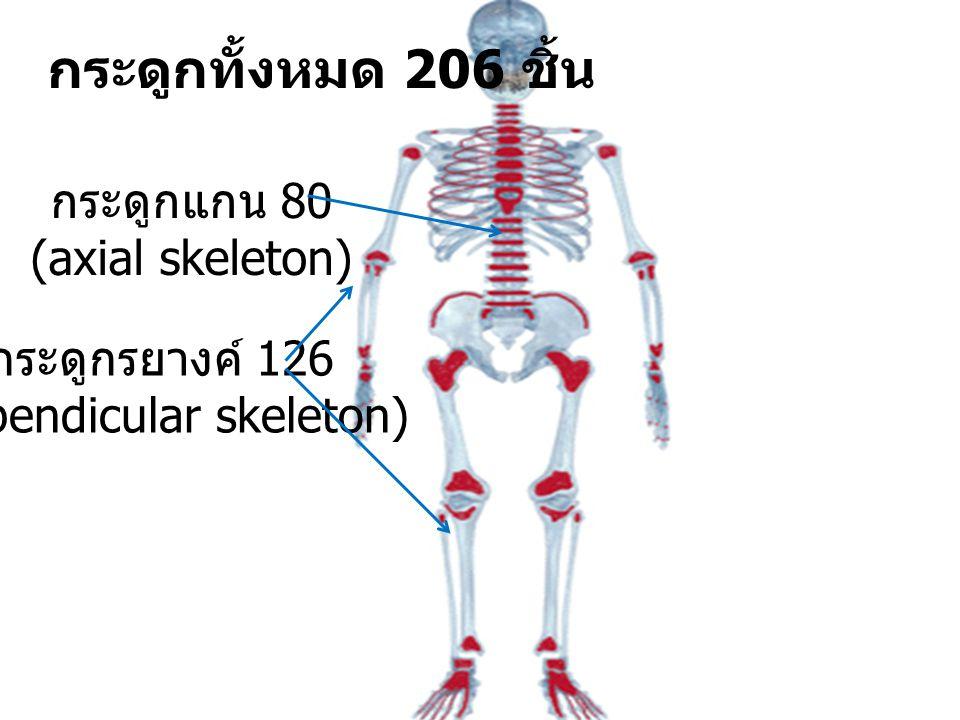 กระดูกทั้งหมด 206 ชิ้น กระดูกแกน 80 (axial skeleton) กระดูกรยางค์ 126 (appendicular skeleton)