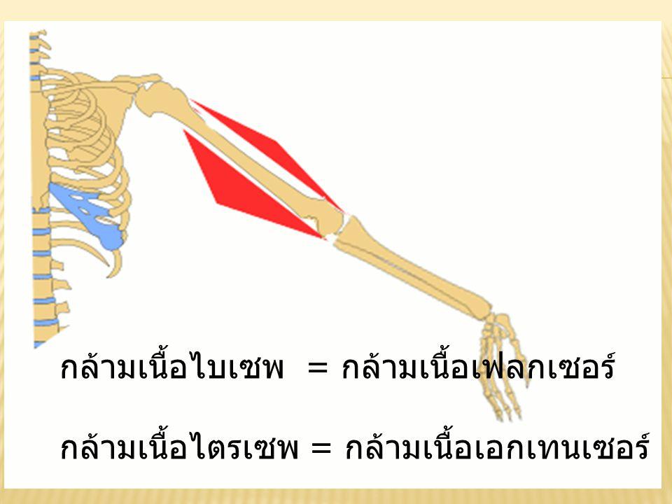 กล้ามเนื้อไบเซพ = กล้ามเนื้อเฟลกเซอร์ กล้ามเนื้อไตรเซพ = กล้ามเนื้อเอกเทนเซอร์