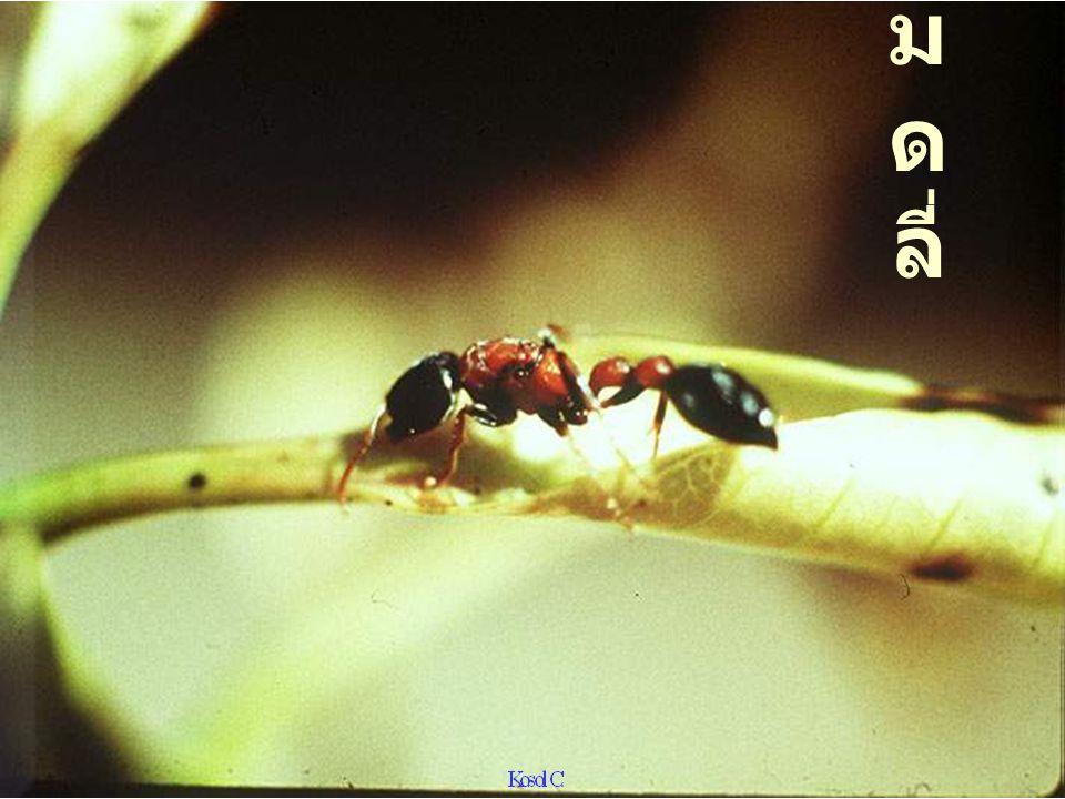 Pheidologeton diversus vs fruit fly