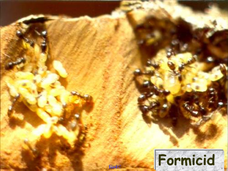 FormicidFormicid
