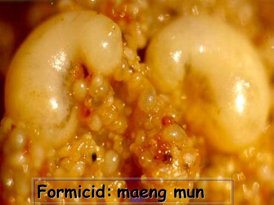 Formicid on Lycaenid