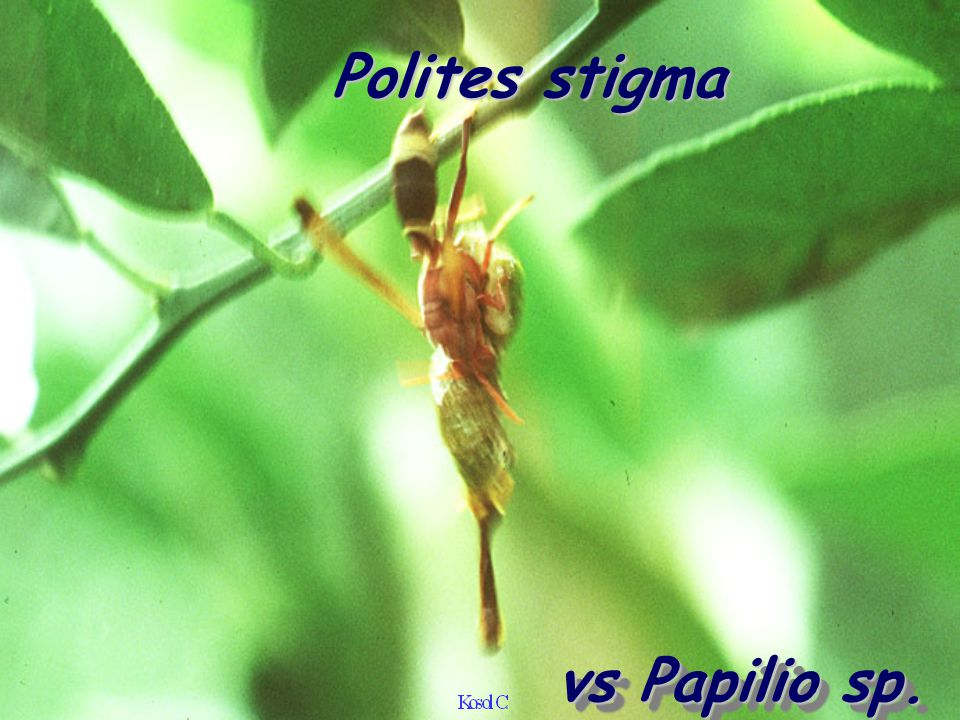 vs Papilio sp. Polites stigma