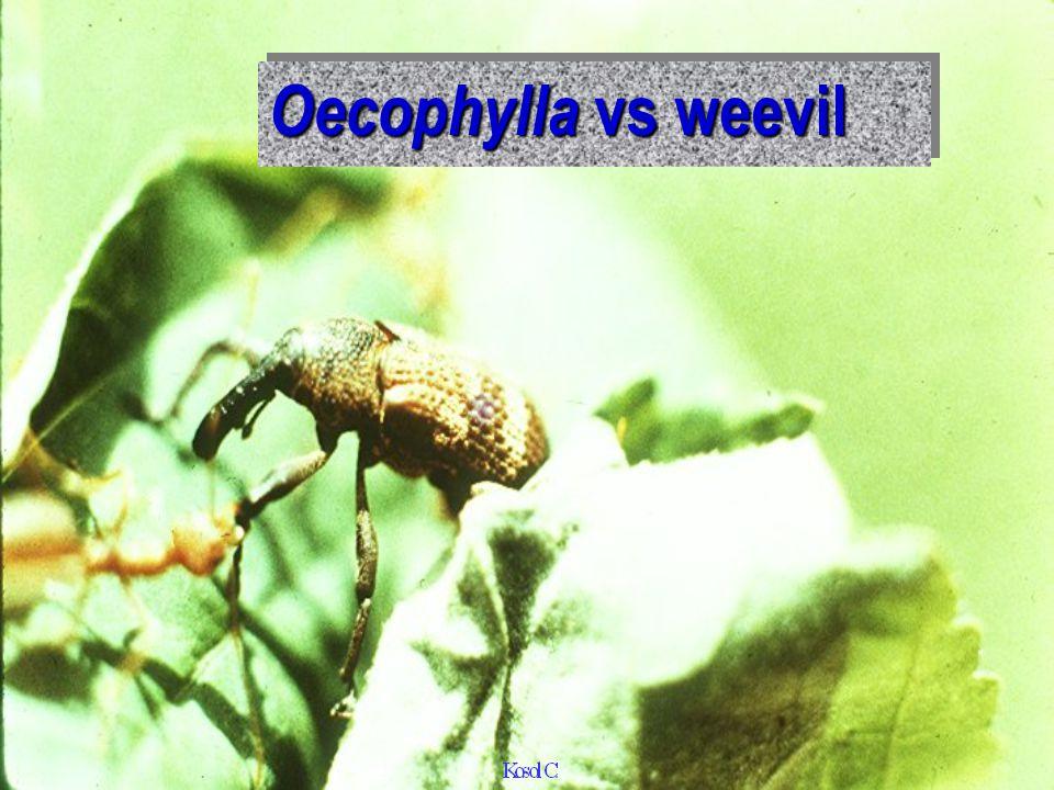 Oecophylla vs melon fly