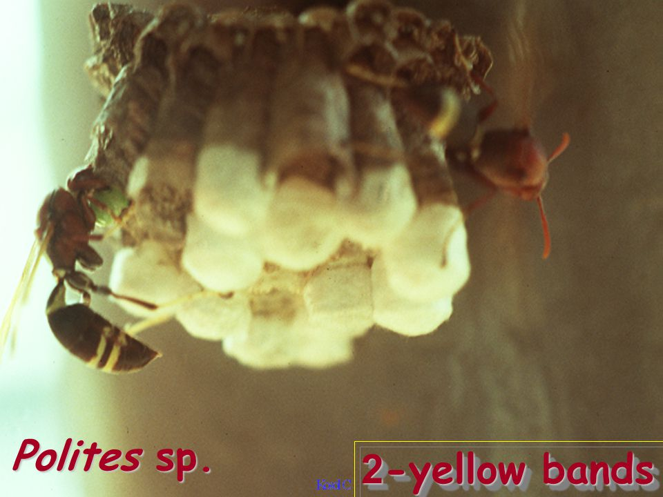 2-yellow bands Polites sp.