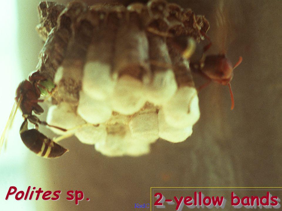 Oecophylla smaragdina vs Hypomeces sp.