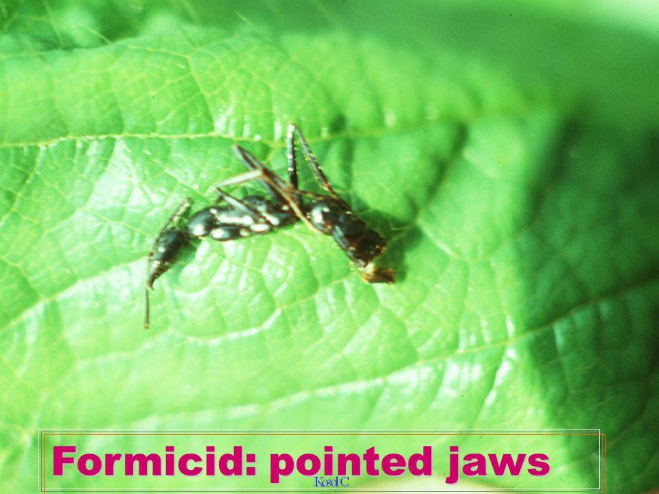 Oecophylla smaragdina vs butterfly pupa Oecophylla smaragdina vs butterfly pupa