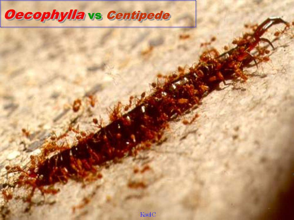 Oecophyla smaragdina