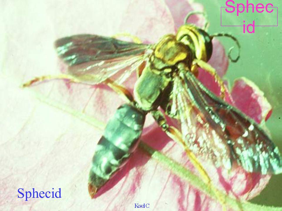 Sphex viduatus grasshopper parasite