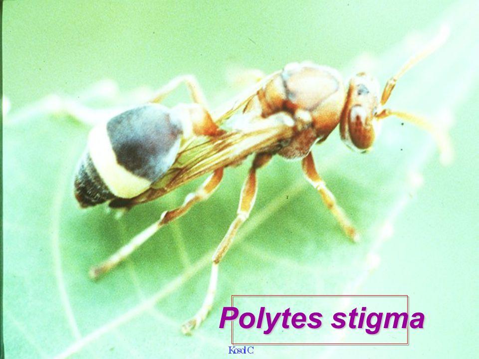 Polytes stigma