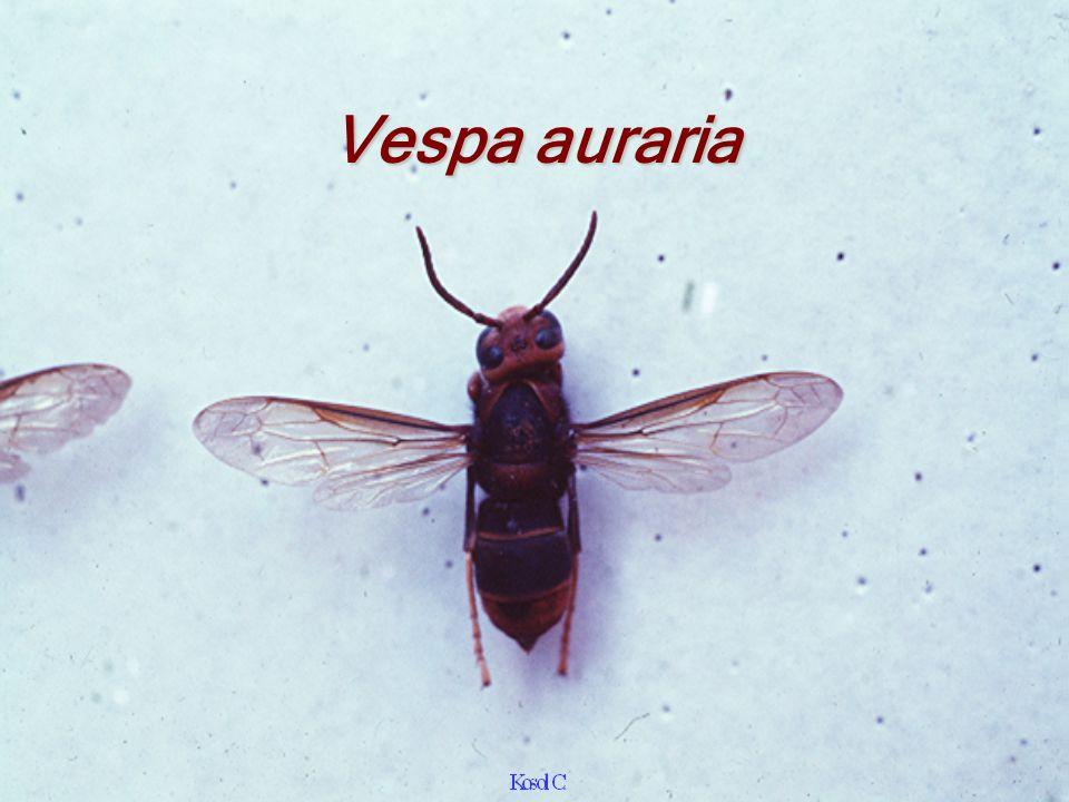 Vespa auraria