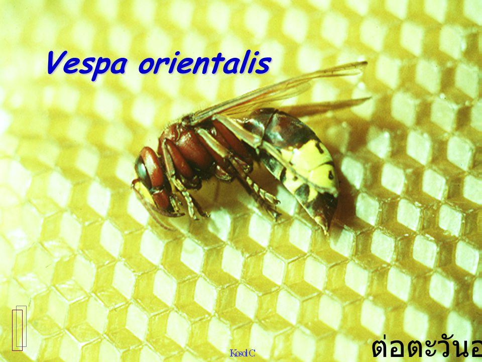 Vespa orientalis ต่อตะวันออก