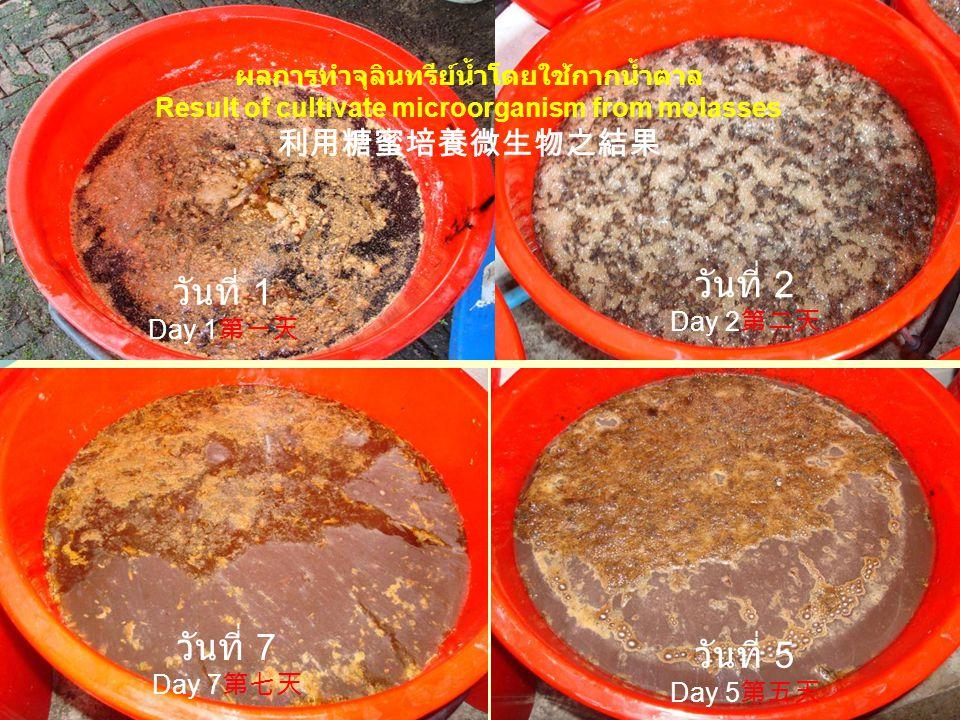 วันที่ 2 Day 2 第二天 วันที่ 5 Day 5 第五天 วันที่ 7 Day 7 第七天 วันที่ 1 Day 1 第一天 ผลการทำจุลินทรีย์น้ำโดยใช้กากน้ำตาล Result of cultivate microorganism from molasses 利用糖蜜培養微生物之結果