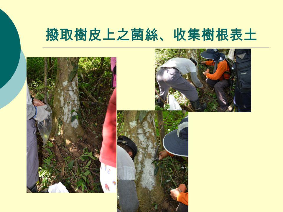 撥取樹皮上之菌絲、收集樹根表土