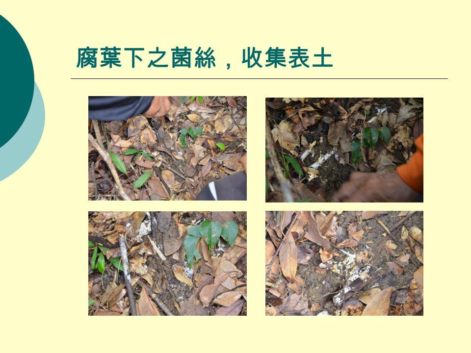 腐葉下之菌絲,收集表土