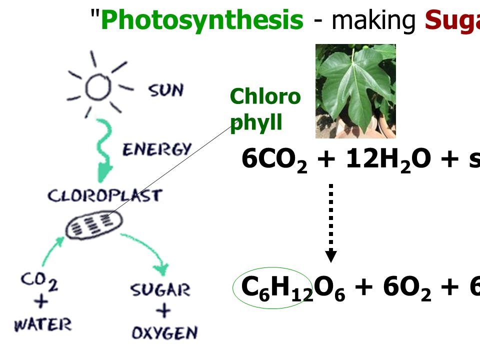 Photosynthesis - making Sugar from Sunlight Chloro phyll 6CO 2 + 12H 2 O + solar energy C 6 H 12 O 6 + 6O 2 + 6H 2 O