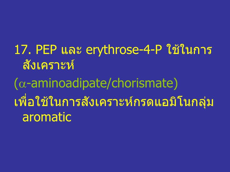17. PEP และ erythrose-4-P ใช้ในการ สังเคราะห์ (  -aminoadipate/chorismate) เพื่อใช้ในการสังเคราะห์กรดแอมิโนกลุ่ม aromatic