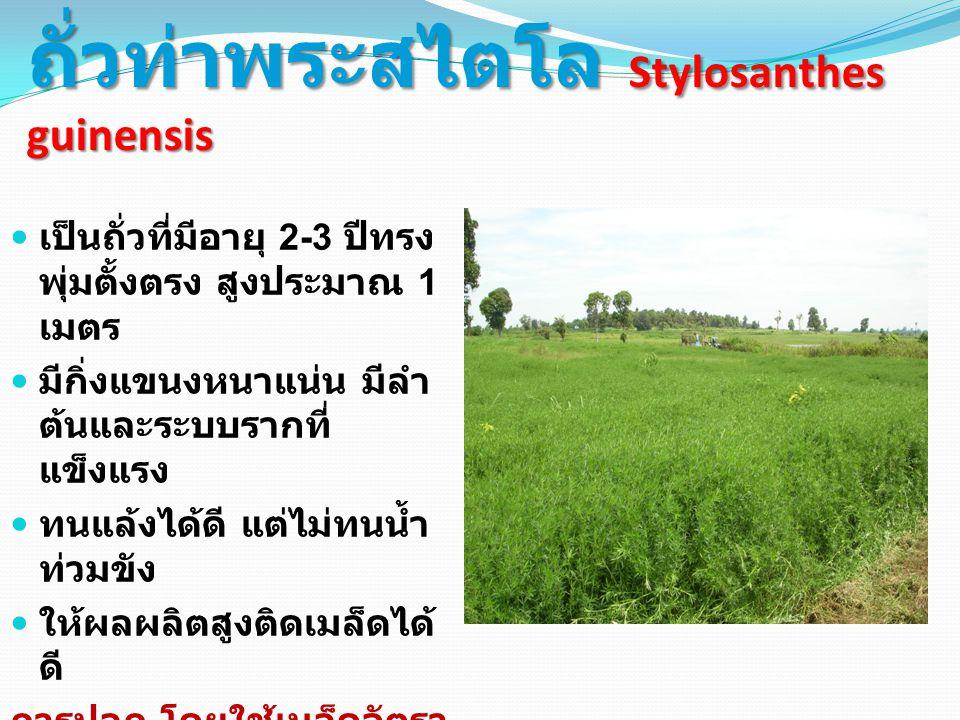 ถั่วท่าพระสไตโล Stylosanthes guinensis เป็นถั่วที่มีอายุ 2-3 ปีทรง พุ่มตั้งตรง สูงประมาณ 1 เมตร มีกิ่งแขนงหนาแน่น มีลำ ต้นและระบบรากที่ แข็งแรง ทนแล้งได้ดี แต่ไม่ทนน้ำ ท่วมขัง ให้ผลผลิตสูงติดเมล็ดได้ ดี การปลูก โดยใช้เมล็ดอัตรา 2 กก.