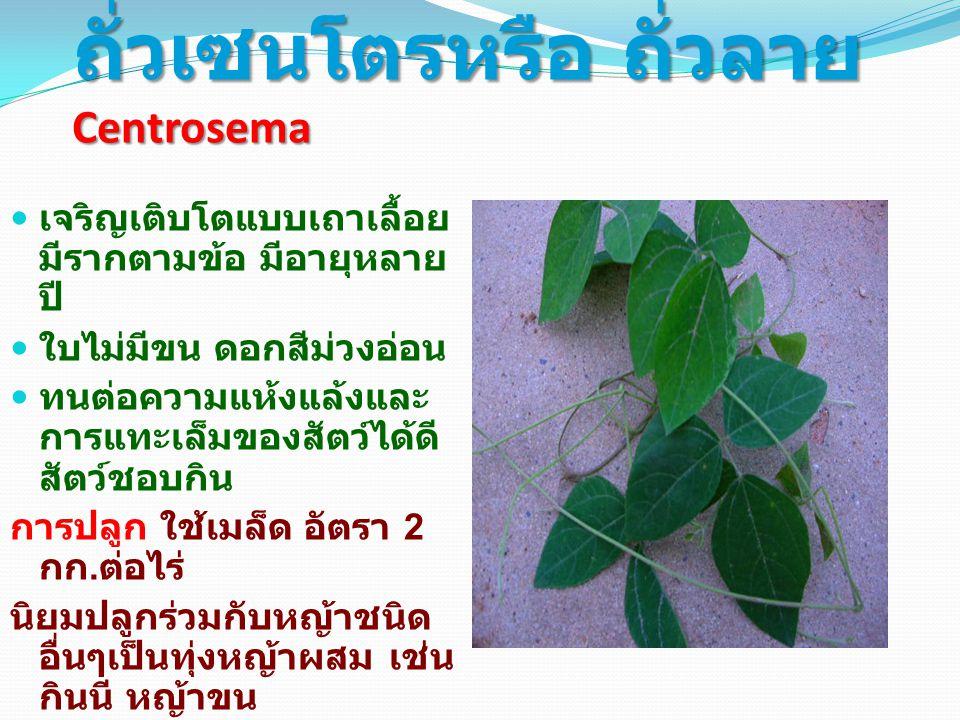 ถั่วเซนโตรหรือ ถั่วลาย Centrosema เจริญเติบโตแบบเถาเลื้อย มีรากตามข้อ มีอายุหลาย ปี ใบไม่มีขน ดอกสีม่วงอ่อน ทนต่อความแห้งแล้งและ การแทะเล็มของสัตว์ได้ดี สัตว์ชอบกิน การปลูก ใช้เมล็ด อัตรา 2 กก.