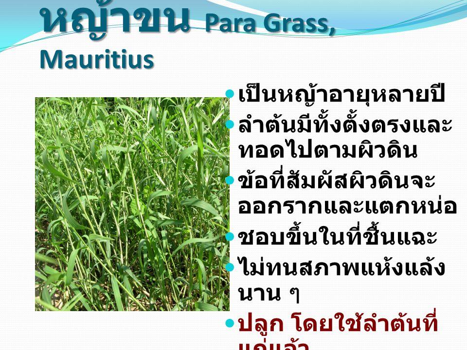 หญ้าขน Para Grass, Mauritius เป็นหญ้าอายุหลายปี ลำต้นมีทั้งตั้งตรงและ ทอดไปตามผิวดิน ข้อที่สัมผัสผิวดินจะ ออกรากและแตกหน่อ ชอบขึ้นในที่ชื้นแฉะ ไม่ทนสภาพแห้งแล้ง นาน ๆ ปลูก โดยใช้ลำต้นที่ แก่แล้ว