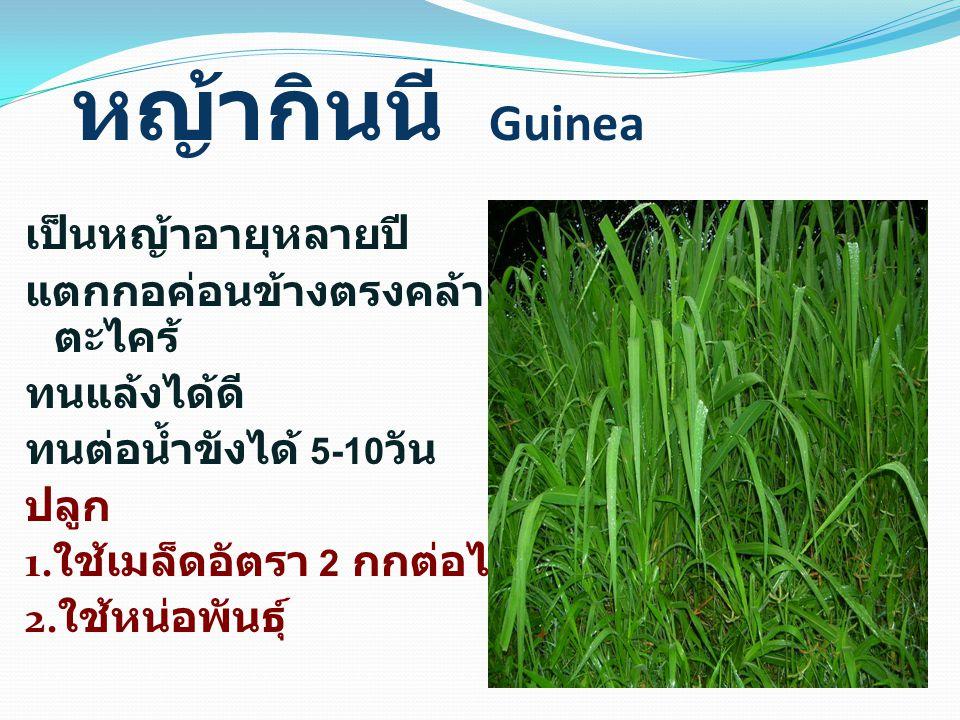 หญ้ากินนี Guinea เป็นหญ้าอายุหลายปี แตกกอค่อนข้างตรงคล้าย ตะไคร้ ทนแล้งได้ดี ทนต่อน้ำขังได้ 5-10 วัน ปลูก 1.