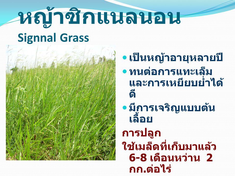 หญ้าซิกแนลนอน Signnal Grass เป็นหญ้าอายุหลายปี ทนต่อการแทะเล็ม และการเหยียบย่ำได้ ดี มีการเจริญแบบต้น เลื้อย การปลูก ใช้เมล็ดที่เก็บมาแล้ว 6-8 เดือนหว่าน 2 กก.