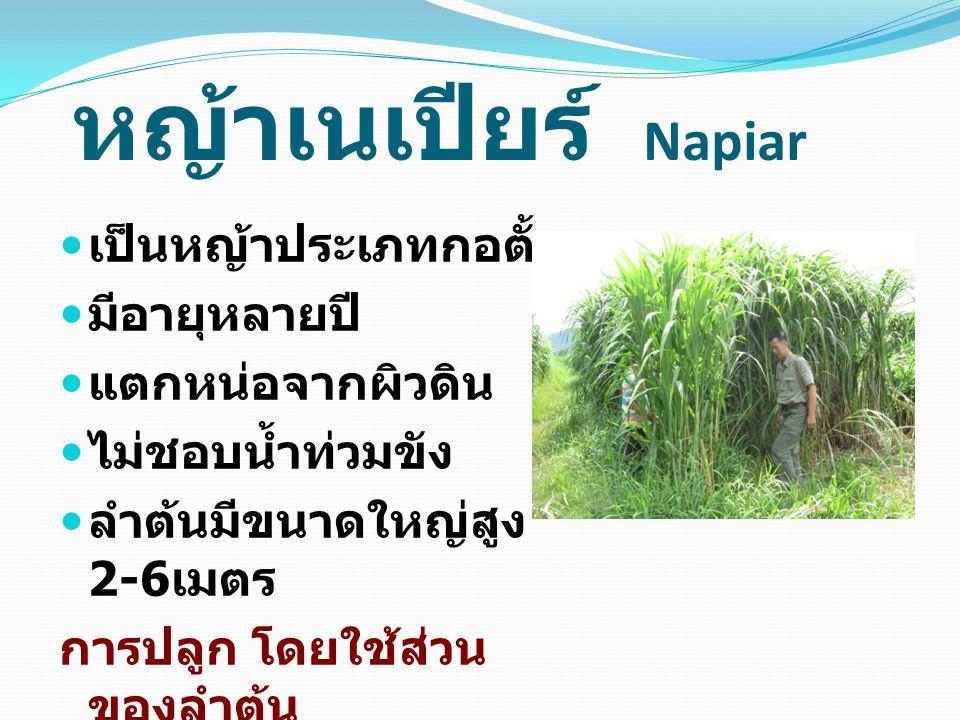 หญ้าเนเปียร์ Napiar เป็นหญ้าประเภทกอตั้ง มีอายุหลายปี แตกหน่อจากผิวดิน ไม่ชอบน้ำท่วมขัง ลำต้นมีขนาดใหญ่สูง 2-6 เมตร การปลูก โดยใช้ส่วน ของลำต้น
