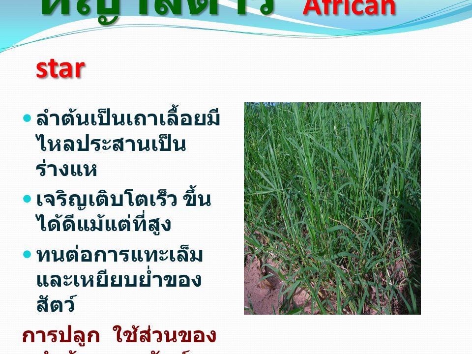 หญ้าสตาร์ African star ลำต้นเป็นเถาเลื้อยมี ไหลประสานเป็น ร่างแห เจริญเติบโตเร็ว ขึ้น ได้ดีแม้แต่ที่สูง ทนต่อการแทะเล็ม และเหยียบย่ำของ สัตว์ การปลูก ใช้ส่วนของ ลำต้นขยายพันธุ์