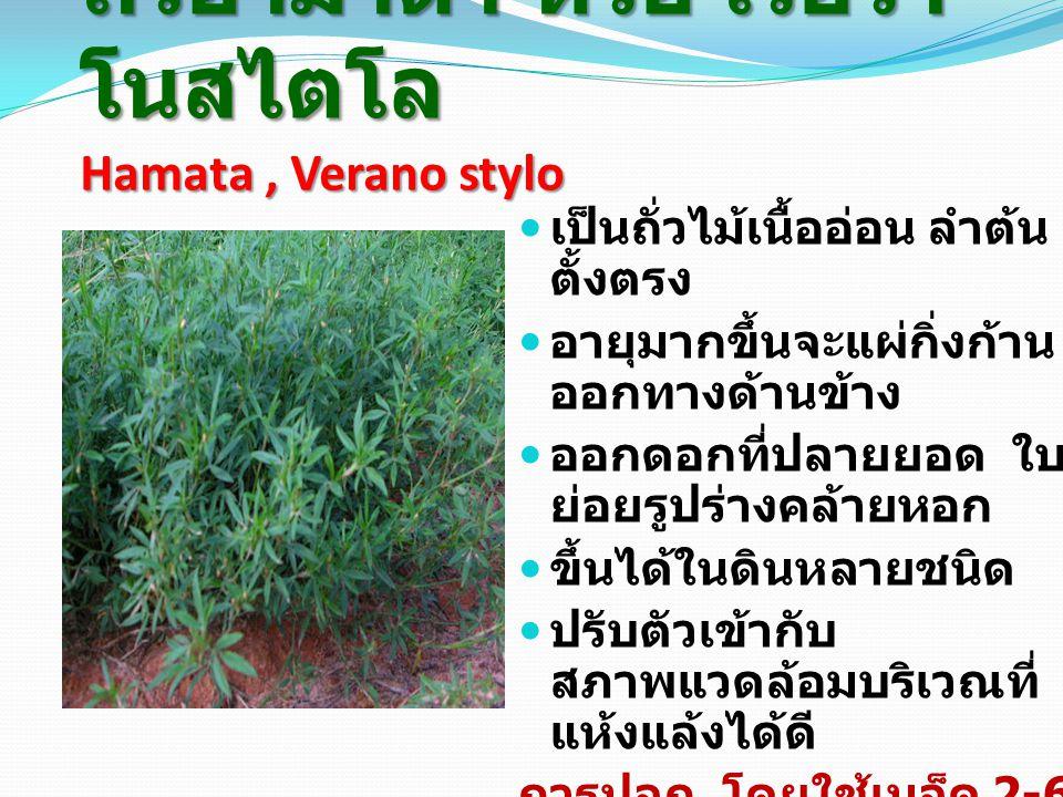 ถั่วฮามาต้า หรือ เวอรา โนสไตโล Hamata, Verano stylo เป็นถั่วไม้เนื้ออ่อน ลำต้น ตั้งตรง อายุมากขึ้นจะแผ่กิ่งก้าน ออกทางด้านข้าง ออกดอกที่ปลายยอด ใบ ย่อยรูปร่างคล้ายหอก ขึ้นได้ในดินหลายชนิด ปรับตัวเข้ากับ สภาพแวดล้อมบริเวณที่ แห้งแล้งได้ดี การปลูก โดยใช้เมล็ด 2-6 กก.