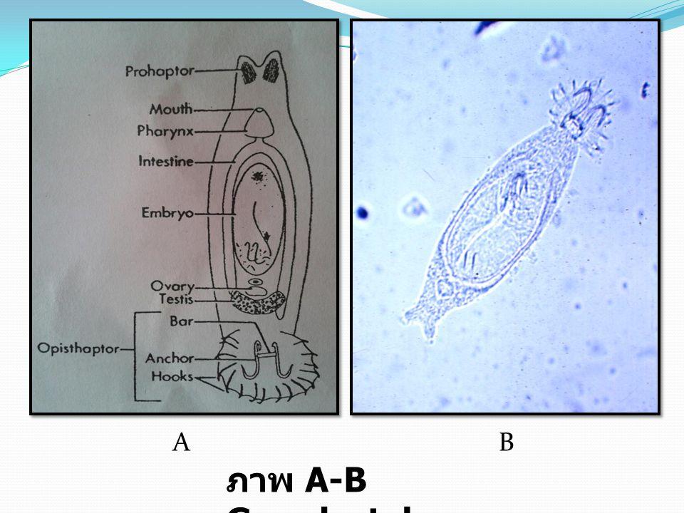 AB ภาพ A-B Gyrodactylus
