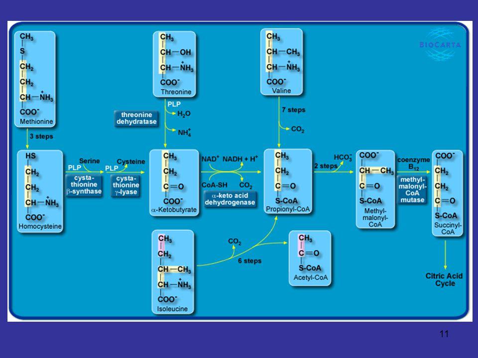 12 Pathways of Amino Acid Degradation Ketogenic Acetoacetate/Acetyl-CoA Family - Lysine ผ่านทาง saccharopine pathway - Tryptophan ผ่านทาง kynurenine pathway - Phenylalanine และ Tyrosine ย่อยได้ fumarate และ acetoacetate