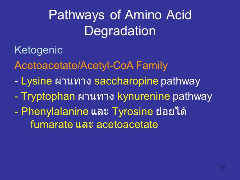 12 Pathways of Amino Acid Degradation Ketogenic Acetoacetate/Acetyl-CoA Family - Lysine ผ่านทาง saccharopine pathway - Tryptophan ผ่านทาง kynurenine p