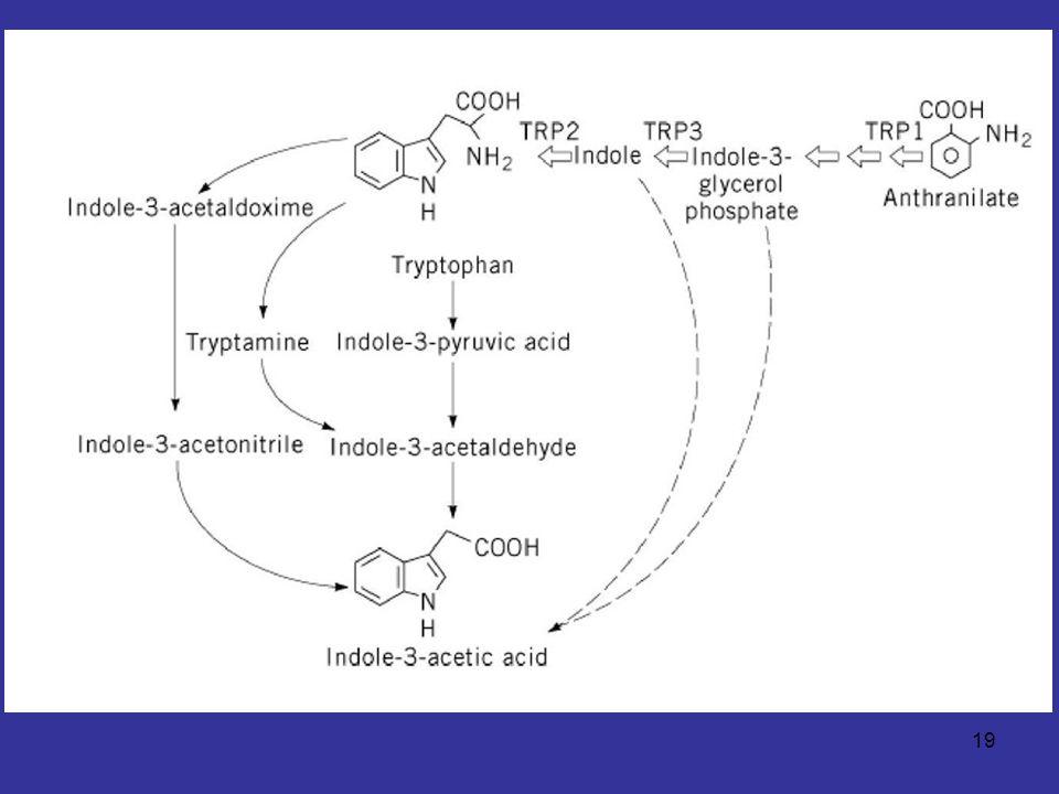 20 Heme catabolism Heme ส่วนมากมาจากเม็ดเลือดแดงที่หมดอายุ จะถูกทำลายในม้ามและตับ
