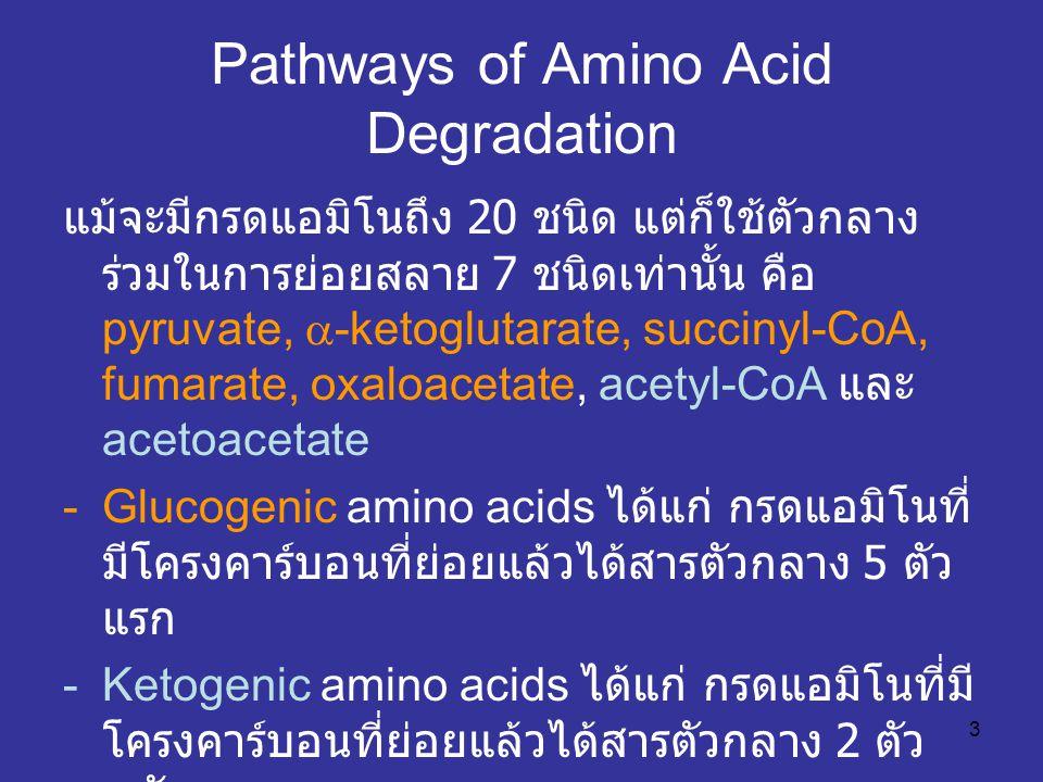 3 Pathways of Amino Acid Degradation แม้จะมีกรดแอมิโนถึง 20 ชนิด แต่ก็ใช้ตัวกลาง ร่วมในการย่อยสลาย 7 ชนิดเท่านั้น คือ pyruvate,  -ketoglutarate, succ