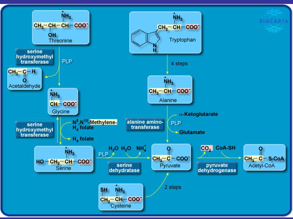 6 Pathways of Amino Acid Degradation Glucogenic (2) Oxaloacetate Family - Asparagine และ aspartate มี 4 คาร์บอน จะ เปลี่ยนเป็น oxaloacetate - ใช้เอนไซม์ asparaginase และ aspartate transaminase