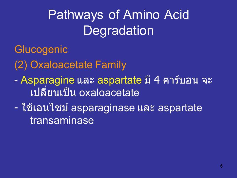 6 Pathways of Amino Acid Degradation Glucogenic (2) Oxaloacetate Family - Asparagine และ aspartate มี 4 คาร์บอน จะ เปลี่ยนเป็น oxaloacetate - ใช้เอนไซ