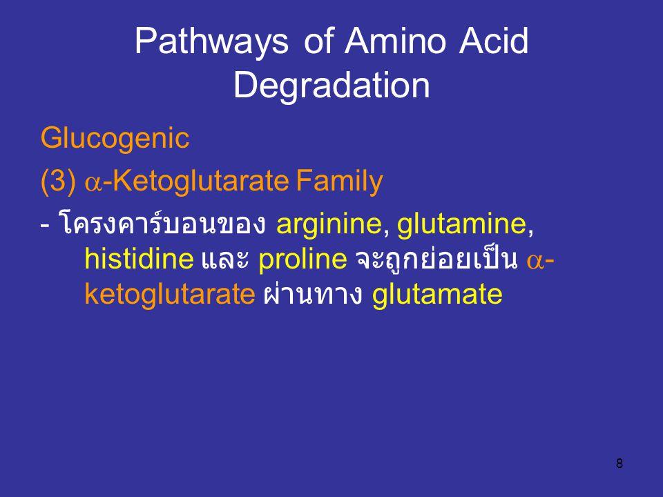 8 Pathways of Amino Acid Degradation Glucogenic (3)  -Ketoglutarate Family - โครงคาร์บอนของ arginine, glutamine, histidine และ proline จะถูกย่อยเป็น