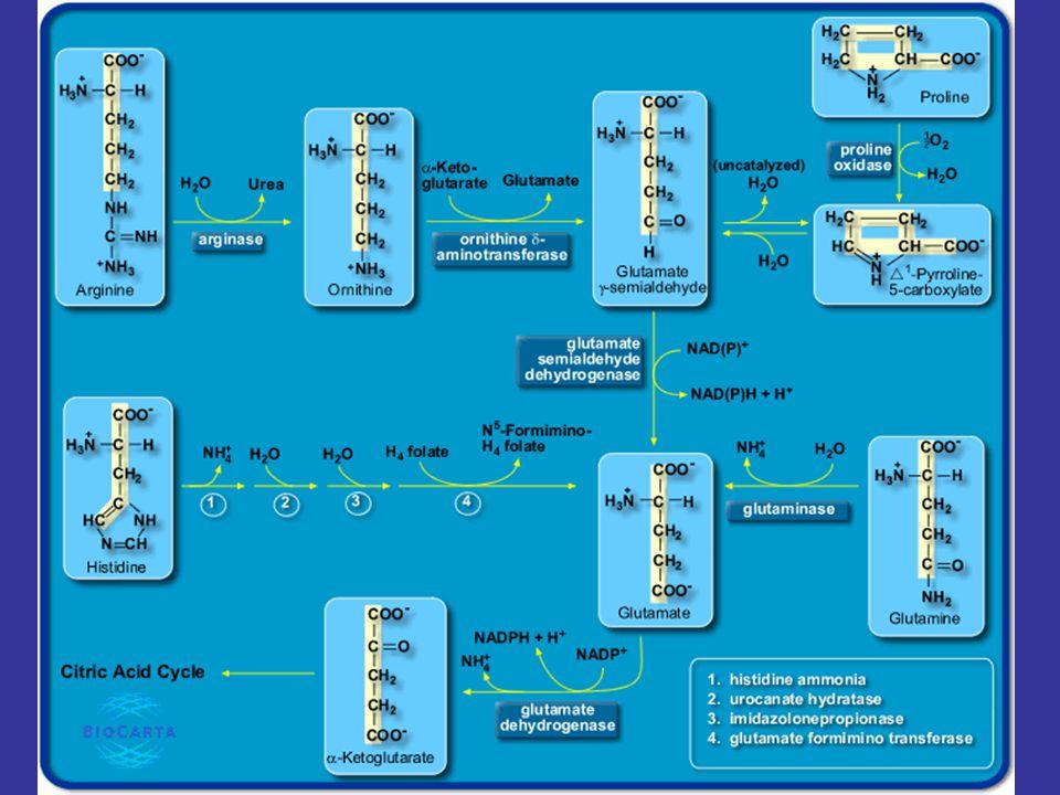 10 Pathways of Amino Acid Degradation Glucogenic (4) Succinyl-CoA Family - Isoleucine, valine, threonine, และ methionine ถูกย่อยเป็น succinyl-CoA ที่ เป็นสารตัวกลางใน citric acid cycle
