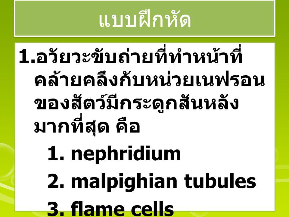 แบบฝึกหัด 1. อวัยวะขับถ่ายที่ทำหน้าที่ คล้ายคลึงกับหน่วยเนฟรอน ของสัตว์มีกระดูกสันหลัง มากที่สุด คือ 1. nephridium 2. malpighian tubules 3. flame cell