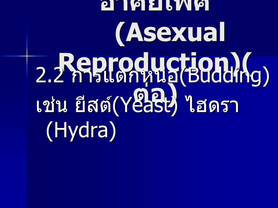 การสืบพันธุ์แบบไม่ อาศัยเพศ (Asexual Reproduction)( ต่อ ) 2.2 การแตกหน่อ (Budding) เช่น ยีสต์ (Yeast) ไฮดรา (Hydra)