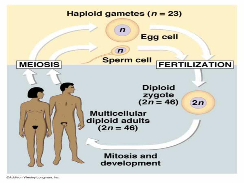 การสืบพันธุ์แบบไม่ อาศัยเพศ (Asexual Reproduction) 2.1 การแบ่งตัวจาก 1 เป็น 2 (Binary Fission) (Binary Fission) เช่น อะมีบา (Amoeba) พารา มีเซียม (Paramesium) ยู กลีนา (Uglyna)
