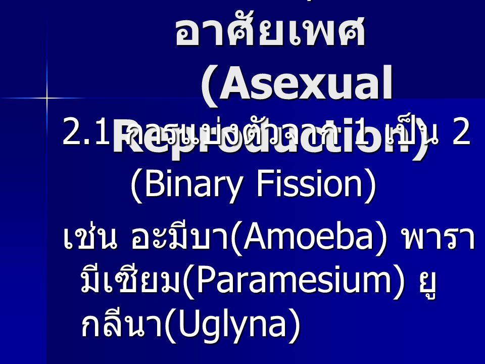 การสืบพันธุ์แบบไม่ อาศัยเพศ (Asexual Reproduction) 2.1 การแบ่งตัวจาก 1 เป็น 2 (Binary Fission) (Binary Fission) เช่น อะมีบา (Amoeba) พารา มีเซียม (Par