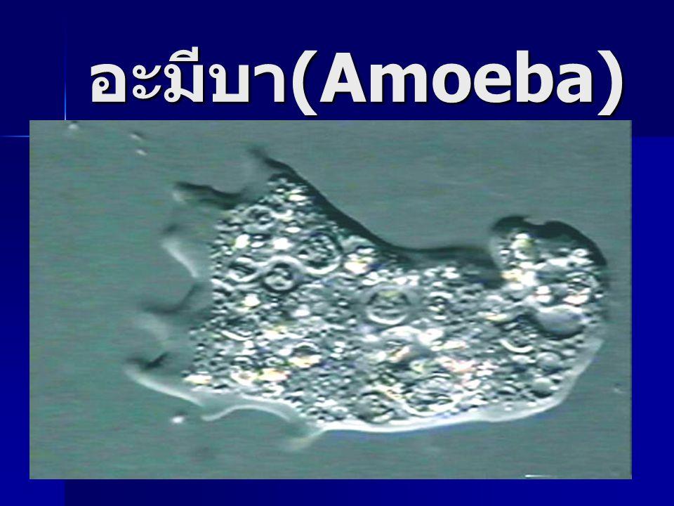 อะมีบา (Amoeba)