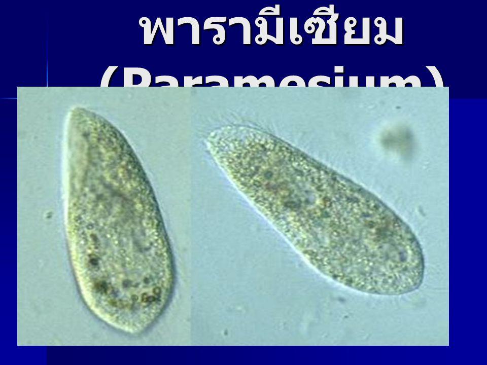 พารามีเซียม (Paramesium)