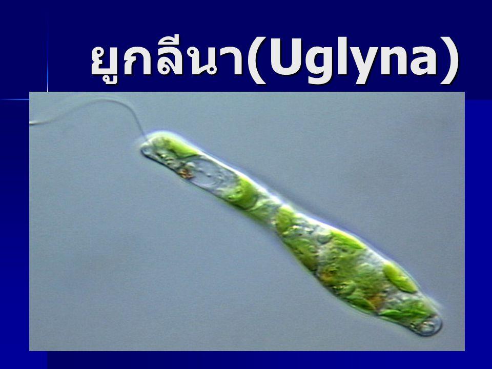 ยูกลีนา (Uglyna)