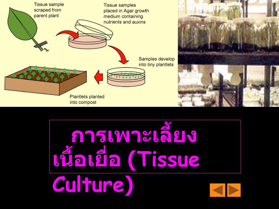 การเพาะเลี้ยง เนื้อเยื่อ (Tissue Culture)
