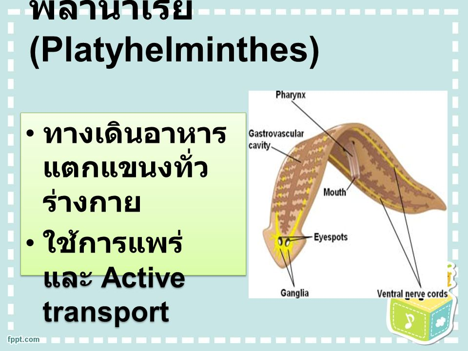 พลานาเรีย (Platyhelminthes) ทางเดินอาหาร แตกแขนงทั่ว ร่างกาย ใช้การแพร่ และ Active transport ทางเดินอาหาร แตกแขนงทั่ว ร่างกาย ใช้การแพร่ และ Active tr