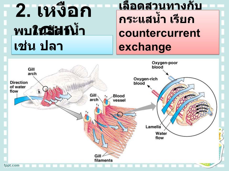 2. เหงือก (Gill) พบในสัตว์น้ำ เช่น ปลา เส้นเลือดฝอยมีทิศ ทางการไหลของ เลือดสวนทางกับ กระแสน้ำ เรียก countercurrent exchange