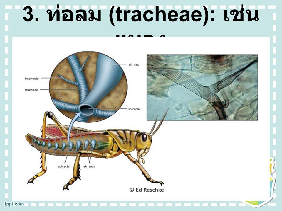 3. ท่อลม (tracheae): เช่น แมลง