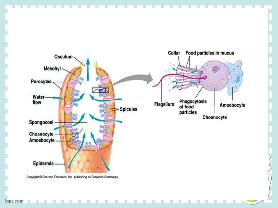 ไฮดรา (cnidarians ) มีเนื้อเยื่อ (Tissue) 2 ชั้น ช่องว่างกลาง ลำตัว (Gastrovascula r cavity) สารอาหารขนาด เล็ก น้ำ ก๊าซ แพร่เข้าสู่เซลล์ โดยตรง มีเนื้อเยื่อ (Tissue) 2 ชั้น ช่องว่างกลาง ลำตัว (Gastrovascula r cavity) สารอาหารขนาด เล็ก น้ำ ก๊าซ แพร่เข้าสู่เซลล์ โดยตรง