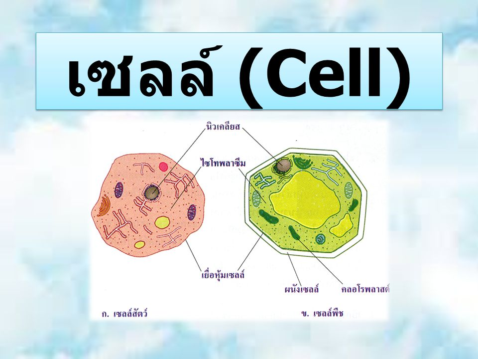 ไรโบโซม (Ribosome) ทำหน้าที่สำคัญใน การสังเคราะห์ โปรตีน เป็นเม็ดๆ ไม่มีเยื่อหุ้ม มี 2 subunit ใน eukaryote จะ สร้างไรโบโซม จาก ในนิวเคลียส ไรโบโซมของ eukaryote เป็นแบบ 80S (60S+40S) ส่วน prokaryote เป็นแบบ 70S (50S+30S)